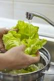 Lavare insalata verde fresca Fotografia Stock Libera da Diritti
