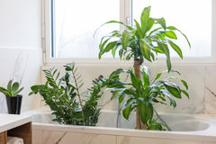 Lavare le piante d'appartamento Fotografia Stock