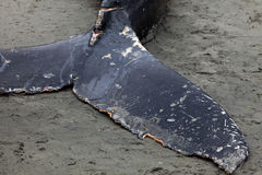 Lavate della balena di Humpback a secco e morto immagine stock