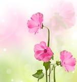 Lavater rosa blommor Fotografering för Bildbyråer