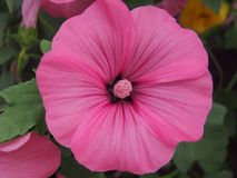 lavatera花的芽  瓣和雄芯花蕊是紫色的 图库摄影