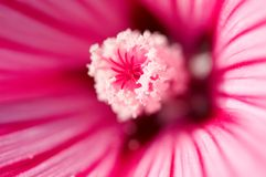 Lavatera. Close up of red Lavatera Royalty Free Stock Images