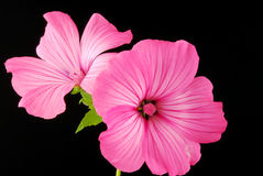 Lavatera Royalty Free Stock Photos