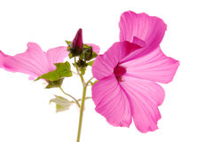 Lavatera Royalty Free Stock Photography
