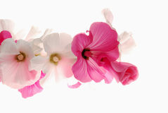 Lavatera Royalty Free Stock Images