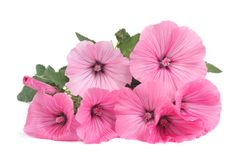 Lavatera beautiful pink flowers isolated on white. Background Royalty Free Stock Photo