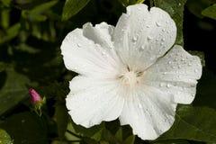 Lavatera bianco Immagini Stock