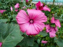 Lavatera Bloemen in de tuin Lavateratrimestris Gevoelige bloemen Roze bloemen stock foto