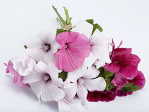 Lavatera bouquet Stock Photos