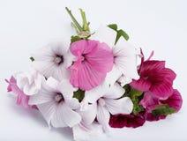 Lavatera bouquet Stock Photos