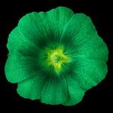 Lavatera chartreuse vert de fleur d'isolement sur le fond noir Fin de bourgeon floral vers le haut photos libres de droits