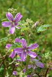 Lavatera cretica, a species of flowering plant in the mallow fam. Lavatera cretica (syn. Malva linnaei) is species of flowering plant in the mallow family. It is Stock Photography