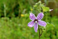 Lavatera cretica, a species of flowering plant in the mallow fam. Lavatera cretica (syn. Malva linnaei) is species of flowering plant in the mallow family. It is Stock Photos