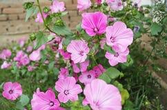 Lavatera decorativo del fiore fotografia stock