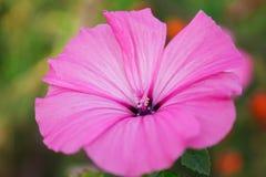 Lavatera flower closeup Stock Photos