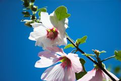 Lavatera Flowers. Pink lavatera mallow flowers against a blue sky background Royalty Free Stock Photo