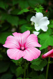 Lavatera flowers blooming Stock Photo
