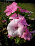 Lavatera flowers in the garden royalty free stock photos