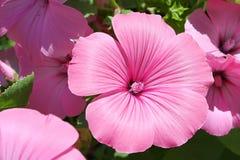 Lavatera garden flower. Pink garden flower of lavatera with pistil Royalty Free Stock Photo