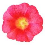 Lavatera jaune rouge de fleur d'isolement sur le fond blanc Fin de bourgeon floral vers le haut Images stock