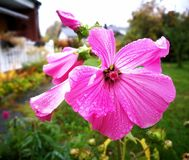 Lavatera. Last flowers in september with water drops Royalty Free Stock Photos