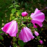 Lavatera. Last flowers in september with water drops Stock Photos