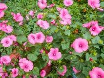 Lavatera Lavateratrimestris fina blommor Rosa blommor Bush lavatera green leaves arkivfoton