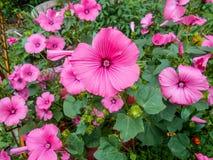 Lavatera Lavateratrimestris Gevoelige bloemen Roze bloemen Bush-lavatera groene Bladeren stock fotografie