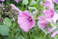 Lavatera lilas dans les baisses de la rosée, foyer sélectif Photo stock