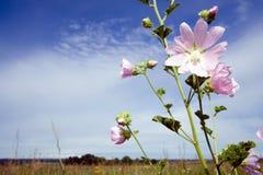 Lavatera thuringiaca flower Stock Photography