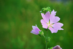 Lavatera thuringiaca flower Stock Photo