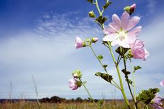 lavatera thuringiaca kwiat Fotografia Stock