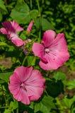Lavatera trimestris花园 免版税图库摄影