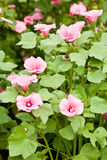 Lavatera trimestris stock images