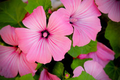 Lavatera trimestris (annual mallow) - beautiful pink flowers. As a backdrop Royalty Free Stock Photo