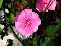Lavatera trimestris - annual mallow Stock Images