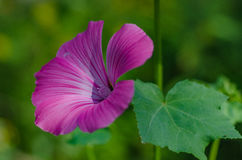 Lavatera trimestris flower garden Stock Images