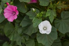 Lavatera trimestris flowers in garden, top view. Lavatera trimestris pink and white flower. Pink and white mallow flowers in summer garden, top view Stock Photography