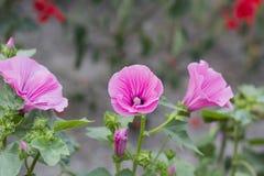 Lavatera trimestris pink flower in garden. Lavatera trimestris pink flower. Pink mallow flowers in summer garden Stock Photo