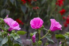 Lavatera trimestris pink flower in garden. Lavatera trimestris pink flower. Pink mallow flowers in summer garden Royalty Free Stock Image