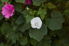 Lavatera trimestris flowers in garden, top view. Lavatera trimestris pink and white flower. Pink and white mallow flowers in summer garden, top view Stock Image