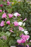 Lavatera trimestris pink and white flowers. Lavatera trimestris pink and white flower. Pink and white mallow flowers in summer garden, side view Royalty Free Stock Image