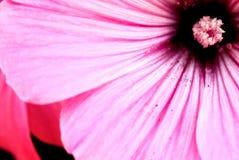 Lavatera trimestris (annual mallow) close up, beautiful floral b Stock Photo