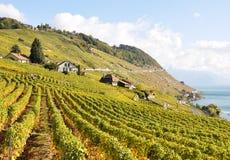 lavaux葡萄园 库存图片
