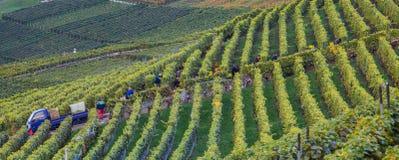 Lavaux, Швейцария - хлебоуборка виноградины Стоковые Фотографии RF