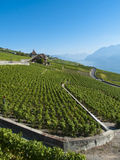 lavaux 2 winnicy Fotografia Stock