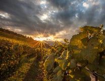 Lavaux, Svizzera - alba II dei terrazzi della vigna Fotografie Stock