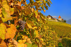 Lavaux Vineyards and Chateau. The Lavaux Vineyards on Lake Geneva in Fall with a Swiss chateau in the background stock image