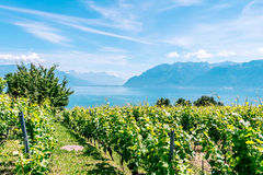 Lavaux Vineyards. Royalty Free Stock Images