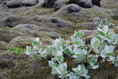 Lave de l'Islande couverte de la mousse Photo stock